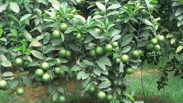 Ngưng tưới nước từ 1 đến 2 tuần giúp cây Chanh ra hoa kết trái.